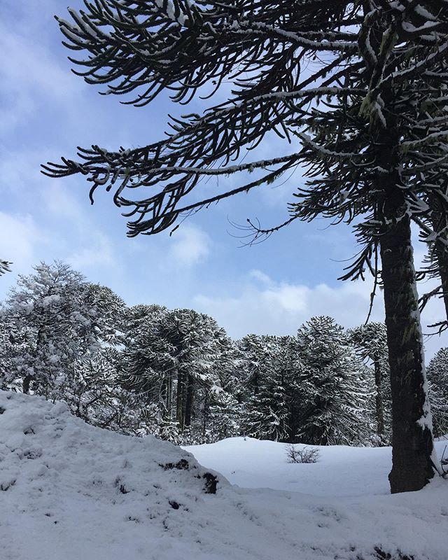Bosque de Araucarias en el paso fronterizo Mamuil Manal . Chile 🇨🇱- Argentina 🇦🇷. Ag. 11 2019  #bosque #araucarias #forest #snow #nature #naturaleza #vida