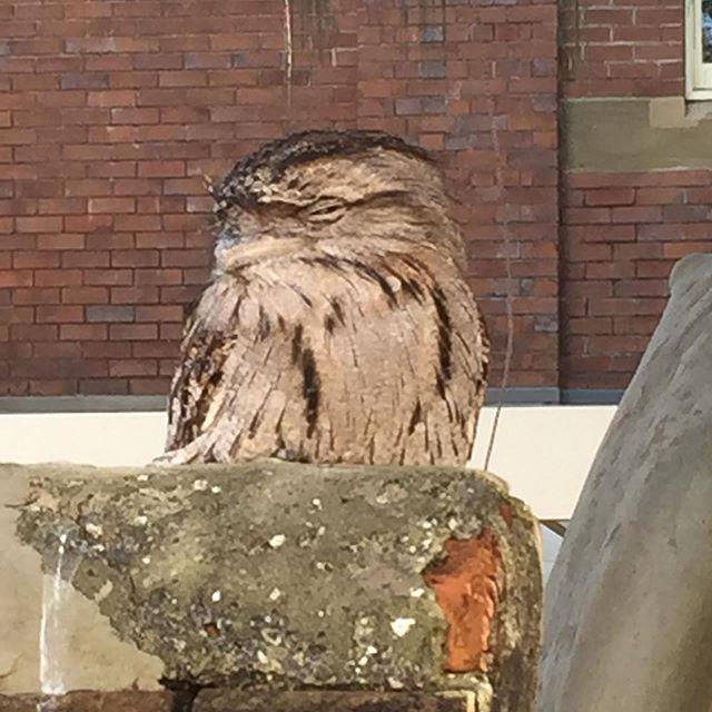 I see you too❤️❤️ # owls #birdlady #tawnyfrogmouth #inthecity #visitingnewcastle