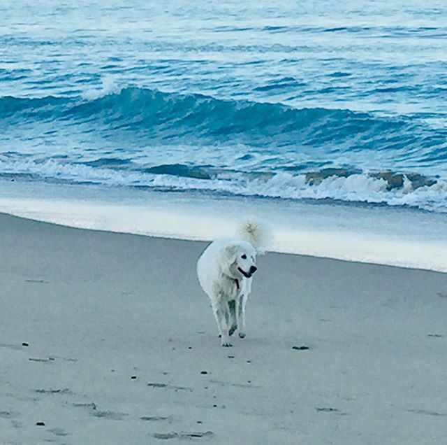 Ahh this is the life for me  #maremmasheepdog #lucathemaremma #midnorthcoastnsw #nocrowds