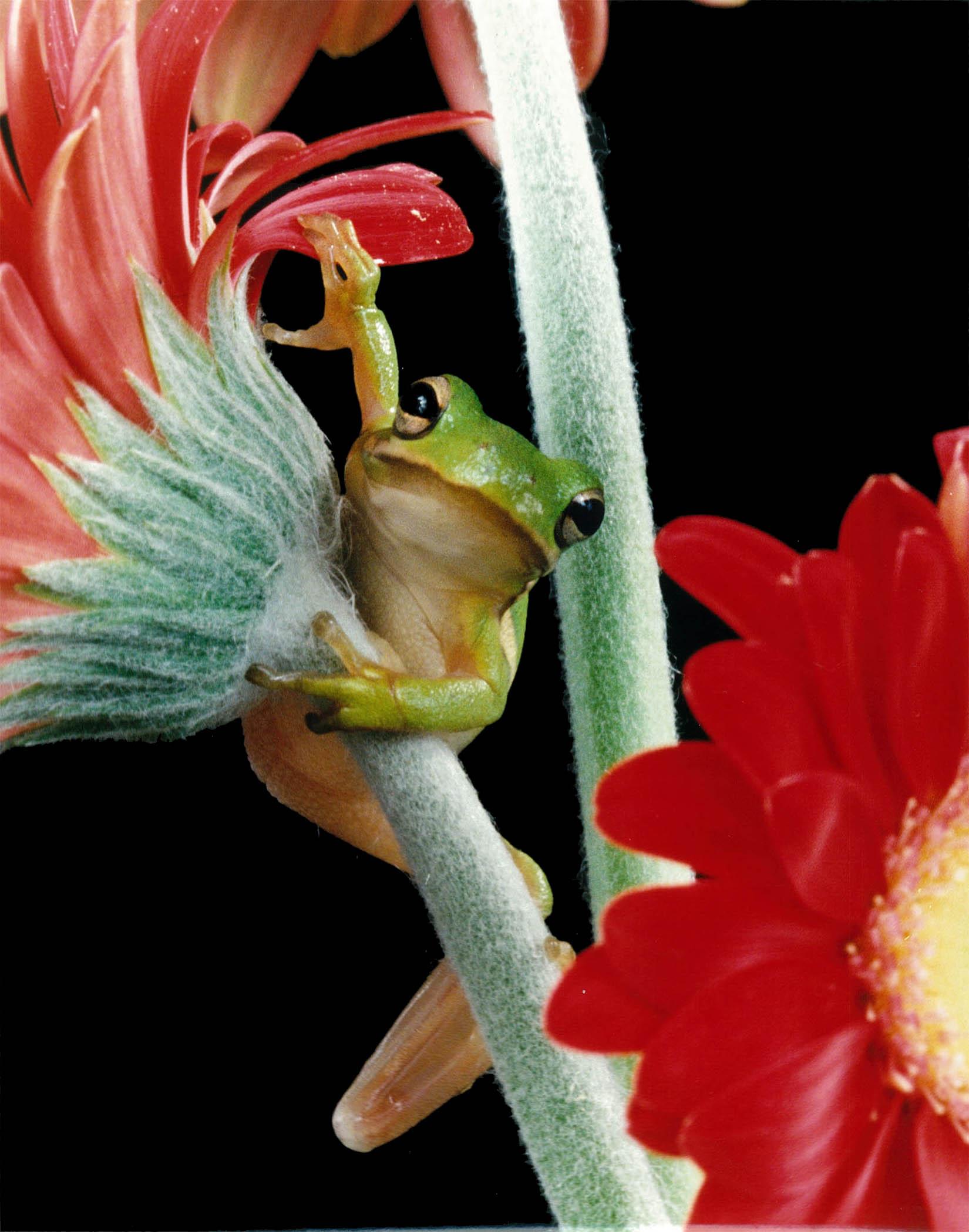 Treefrog on gerber.jpg