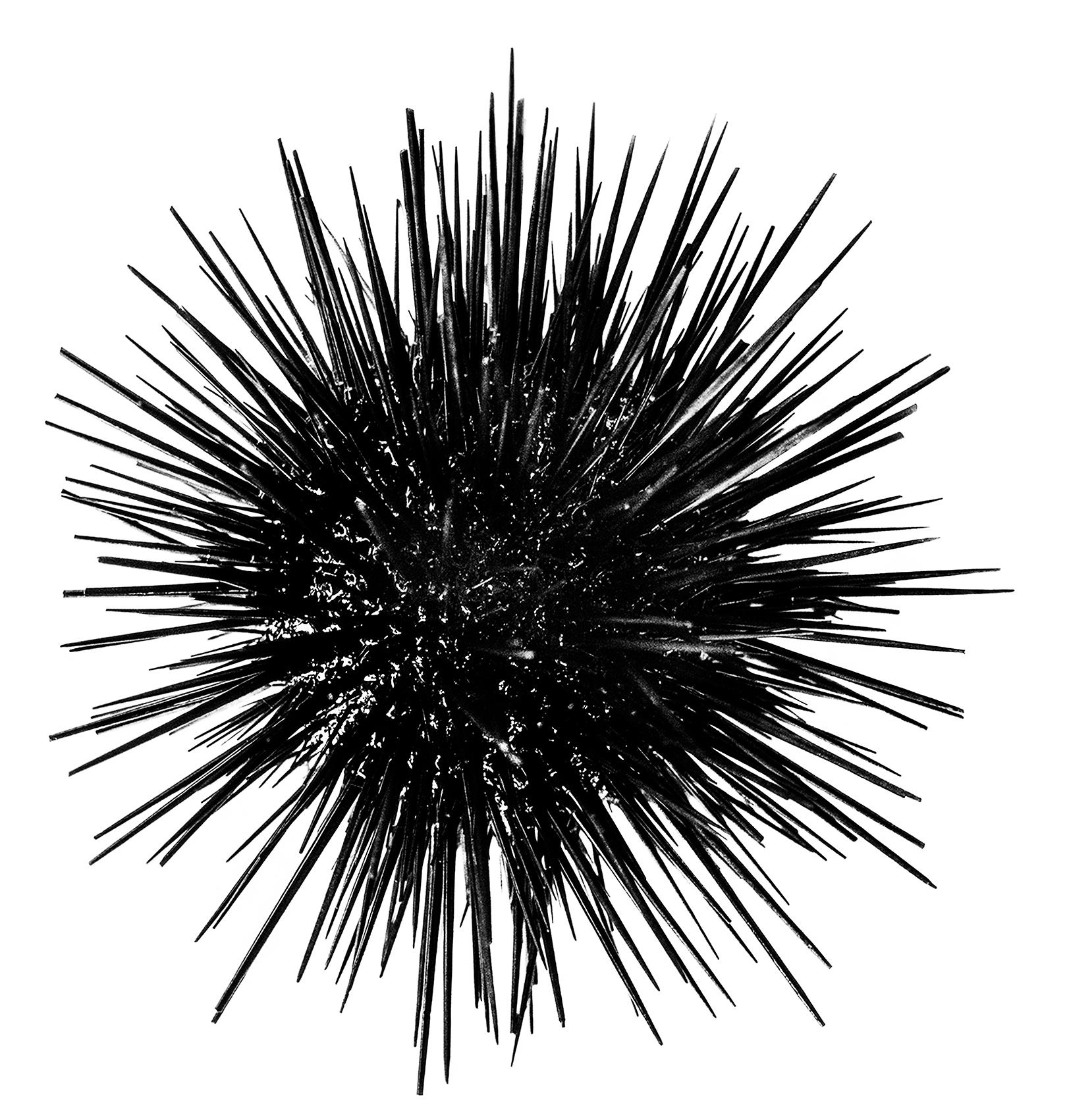 _DSC3019_Urchin_cropped_web ready.jpg