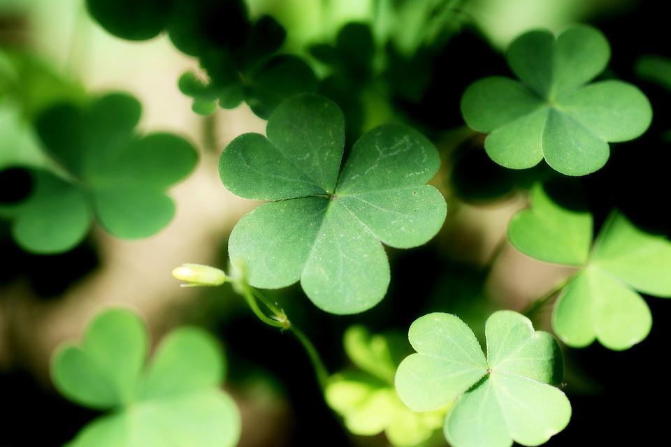 Shamrock-Plants-Leaf-Nature-Green-Clover-Forest-2398582.jpg