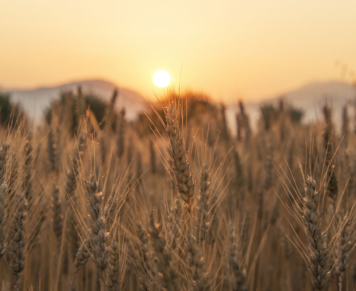 732px-Sunset-over-the-wheat-field-featured.jpg