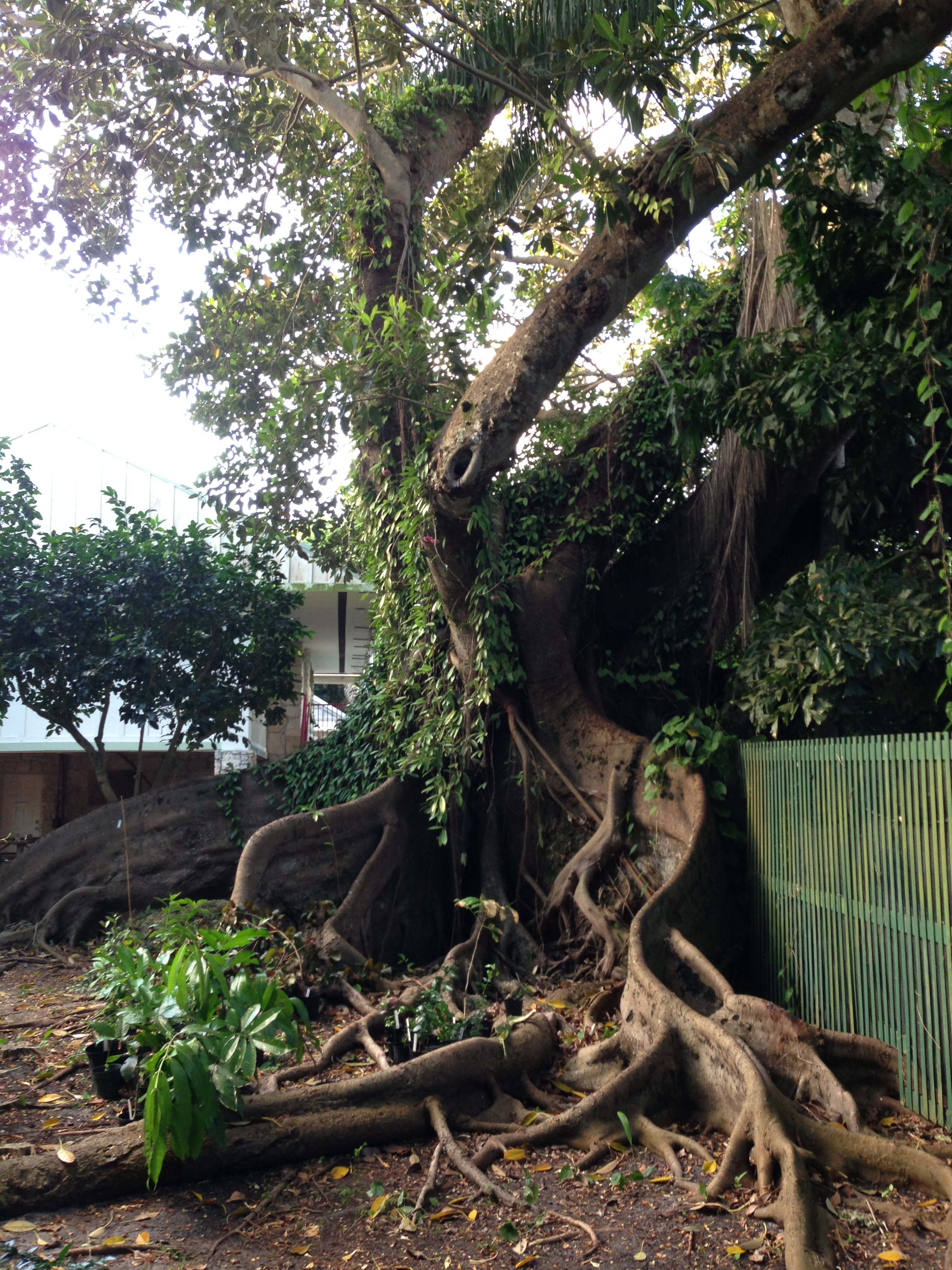 Amazing root systems from the old trees around the Kampong