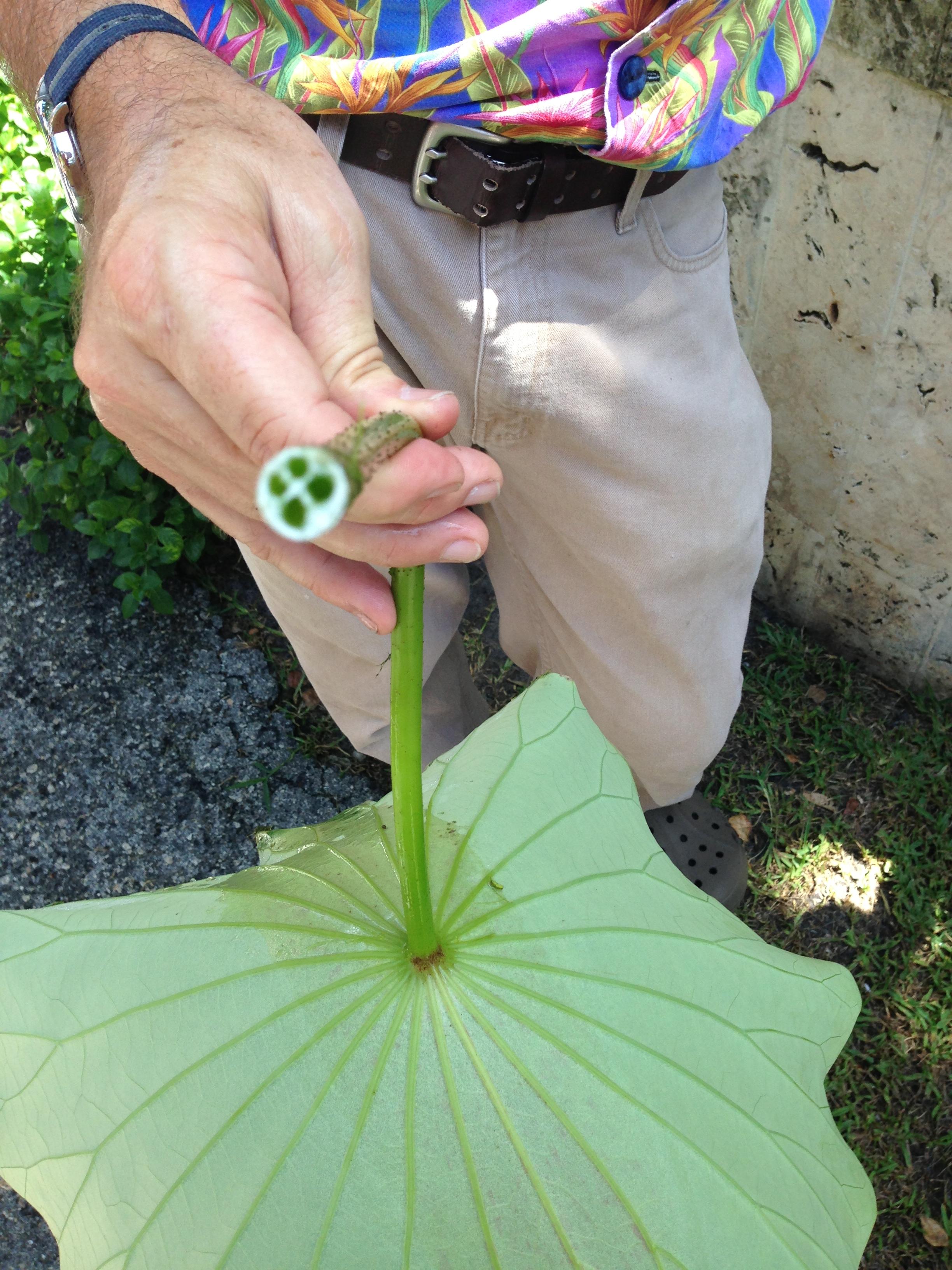 lotus1kampong.jpg