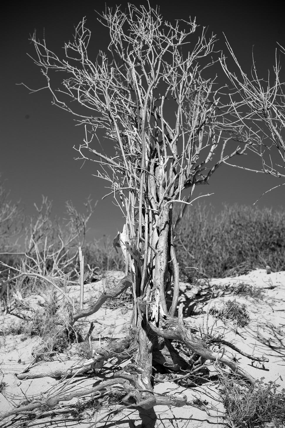 Tree / Arbre - Dune, Salines - Jan 2016