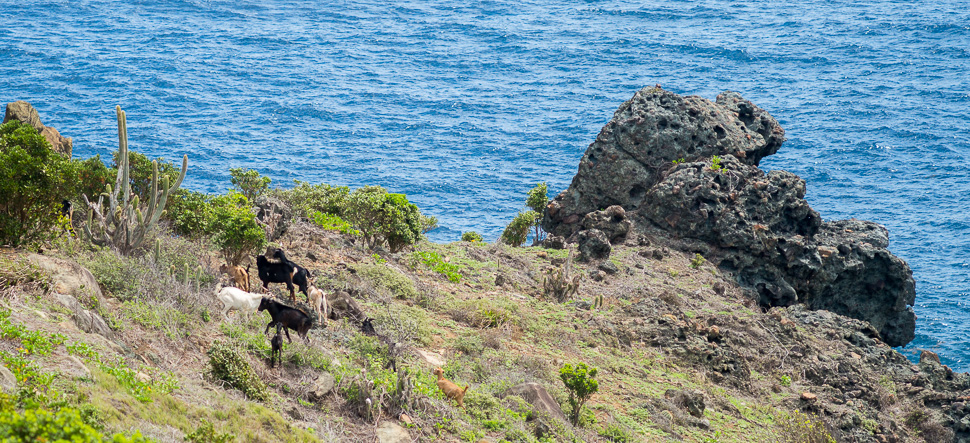 Wild goats / Chèvres sauvages - Colombier Aug / août 2014