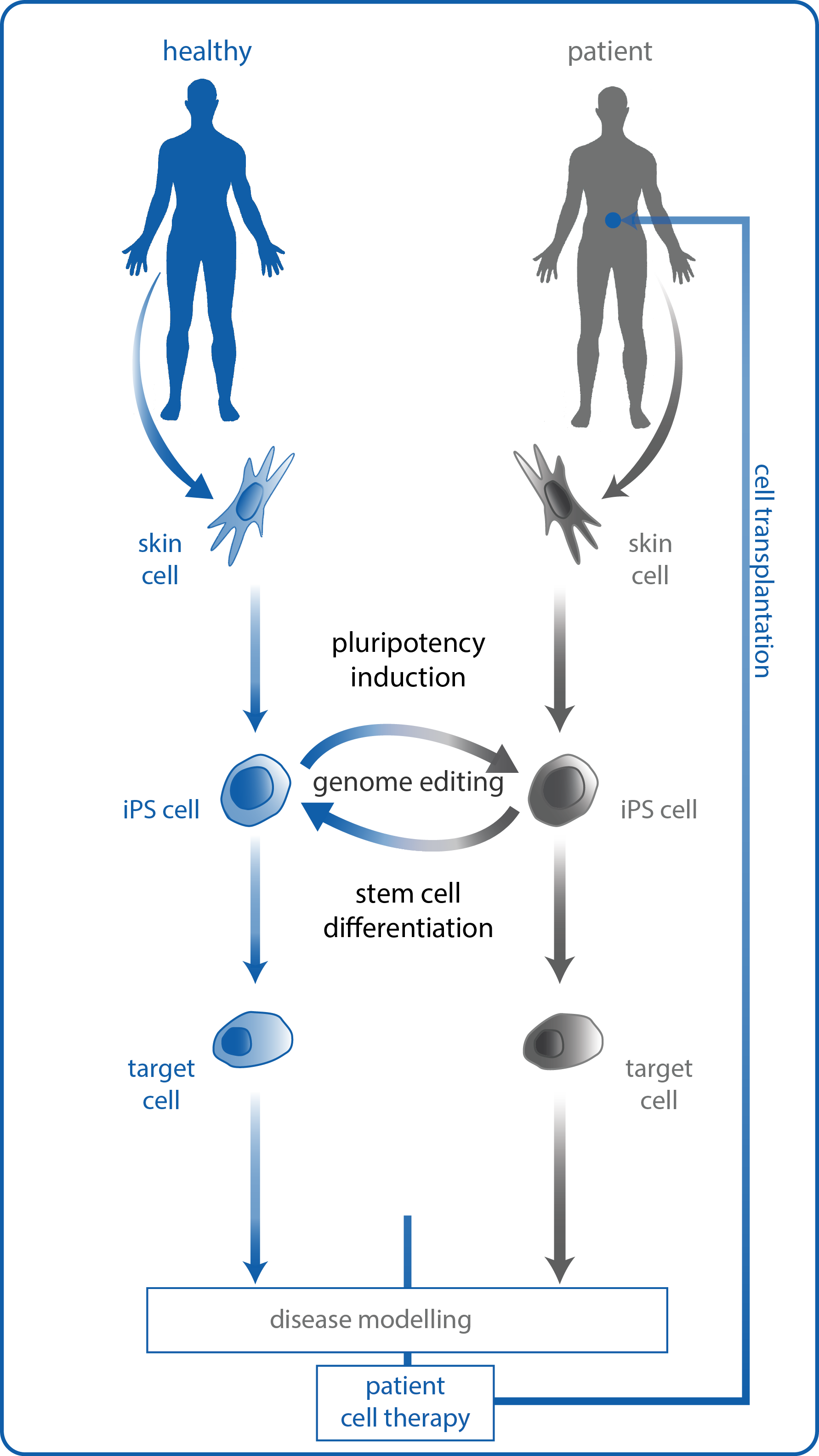 Stem cell differentiation for cell therapy and disease modelling.  Induced pluripotent stem (iPS) cells can be derived from somatic cells, such as skin cells, of healthy individuals or patients with a disease that would benefit from cell therapy, such as type 1 diabetes. Following induction of pluripotency, stem cell differentiation protocols can program iPS cells into the desired target cell. Following stem cell differentiation, a patient in need of cell therapy may receive a cell transplant originating either from their own cells or from a healthy individual. Alternatively, where a patient's own cells contain a disease-inducing gene mutation, gene editing with the CRISPR/Cas9 system can correct the mutation, generating normal cells that could then be transplanted back into the same patient. Gene editing of normal cells can also be employed to probe the function of individual genes in cell function and disease etiology.