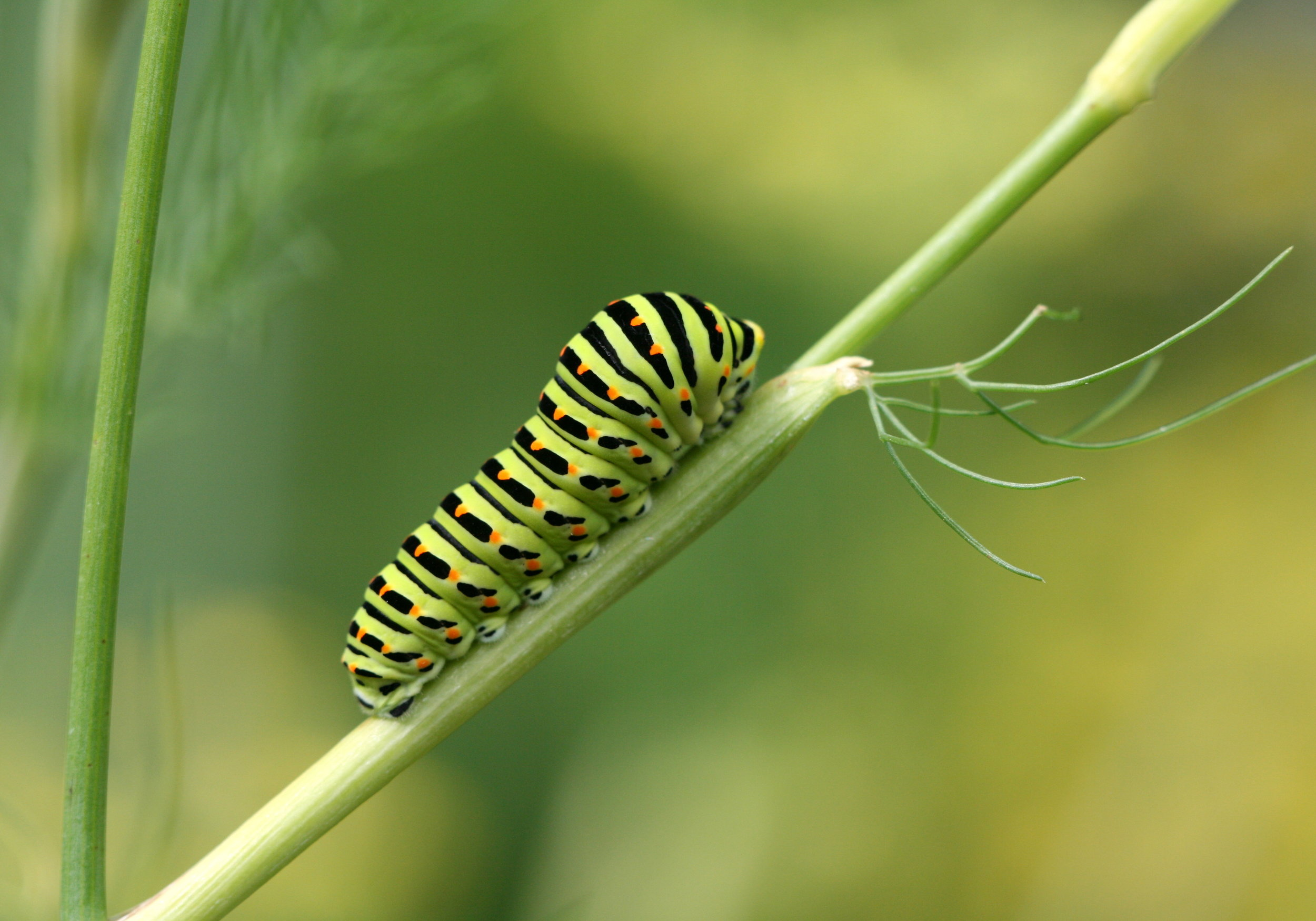 The caterpillar dissolves and is reborn as the butterfly.
