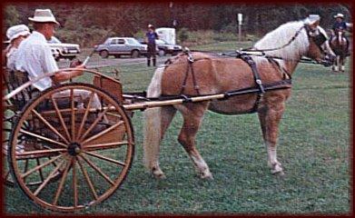 Whitaker NTF (Wallstreet NTF x Marietta), 2 year old Stallion, at    Haflinger Exhibition, Penn State University