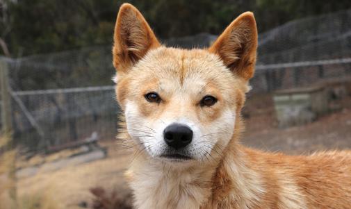 Dingo eyes see right through me...