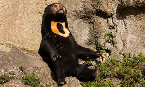 Sun bear working on his sun tan