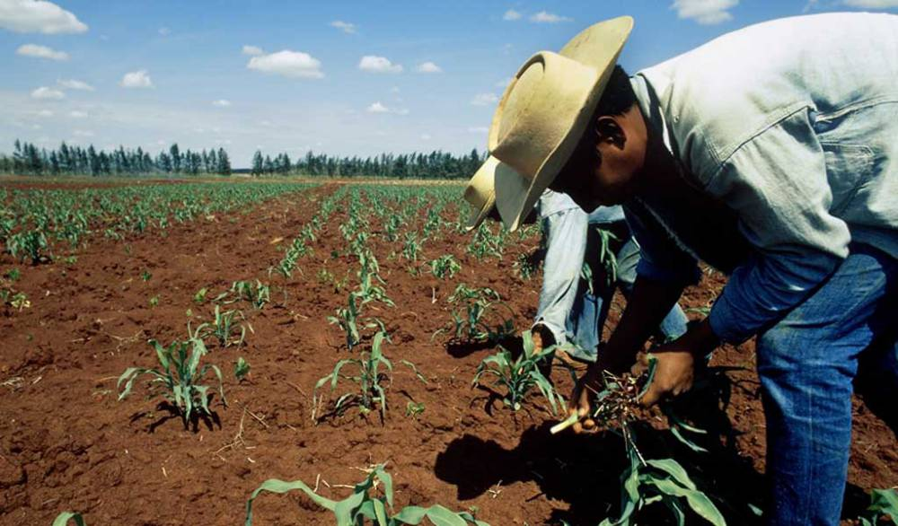Farm workers in corn field.jpg