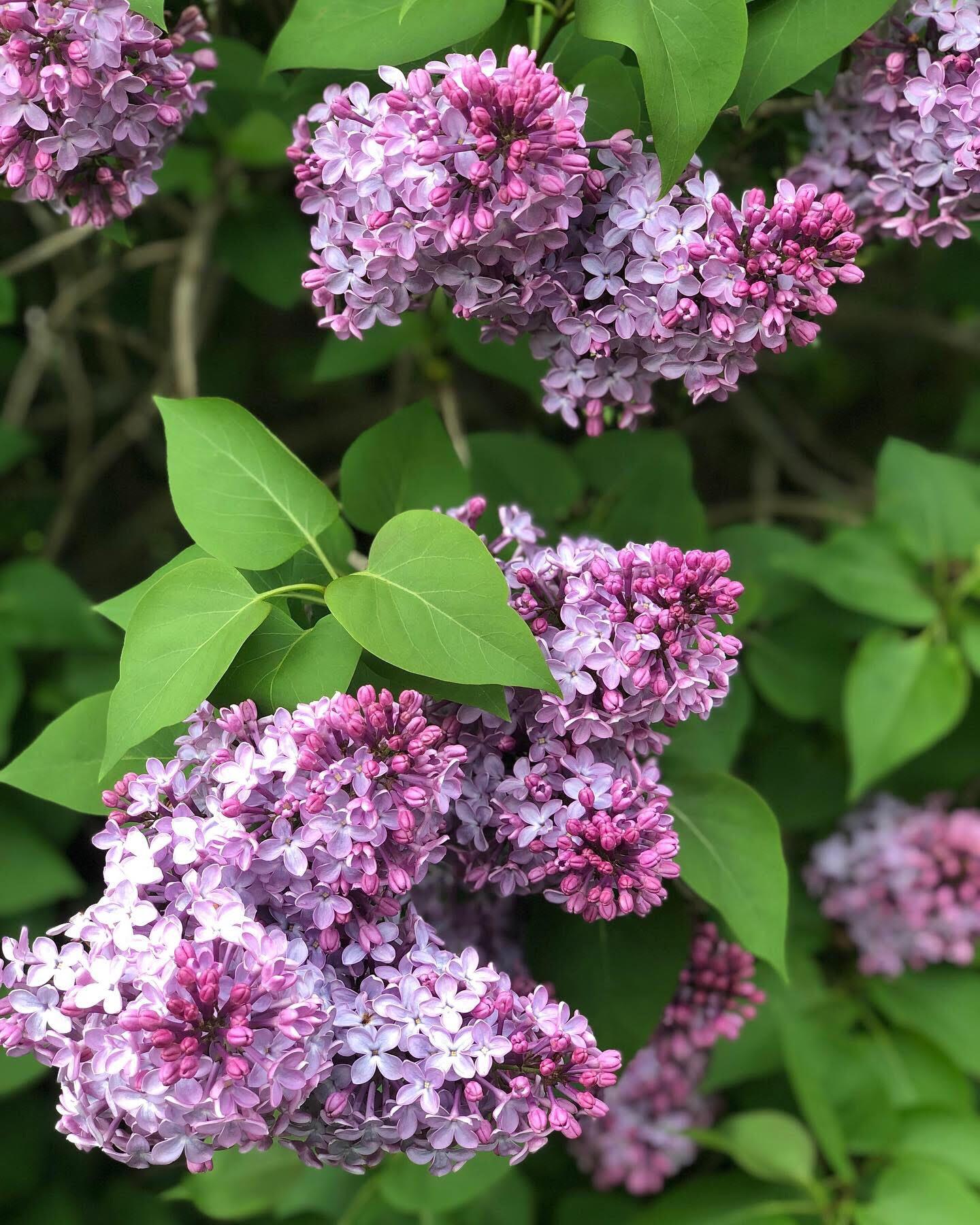 lilacs.jpg