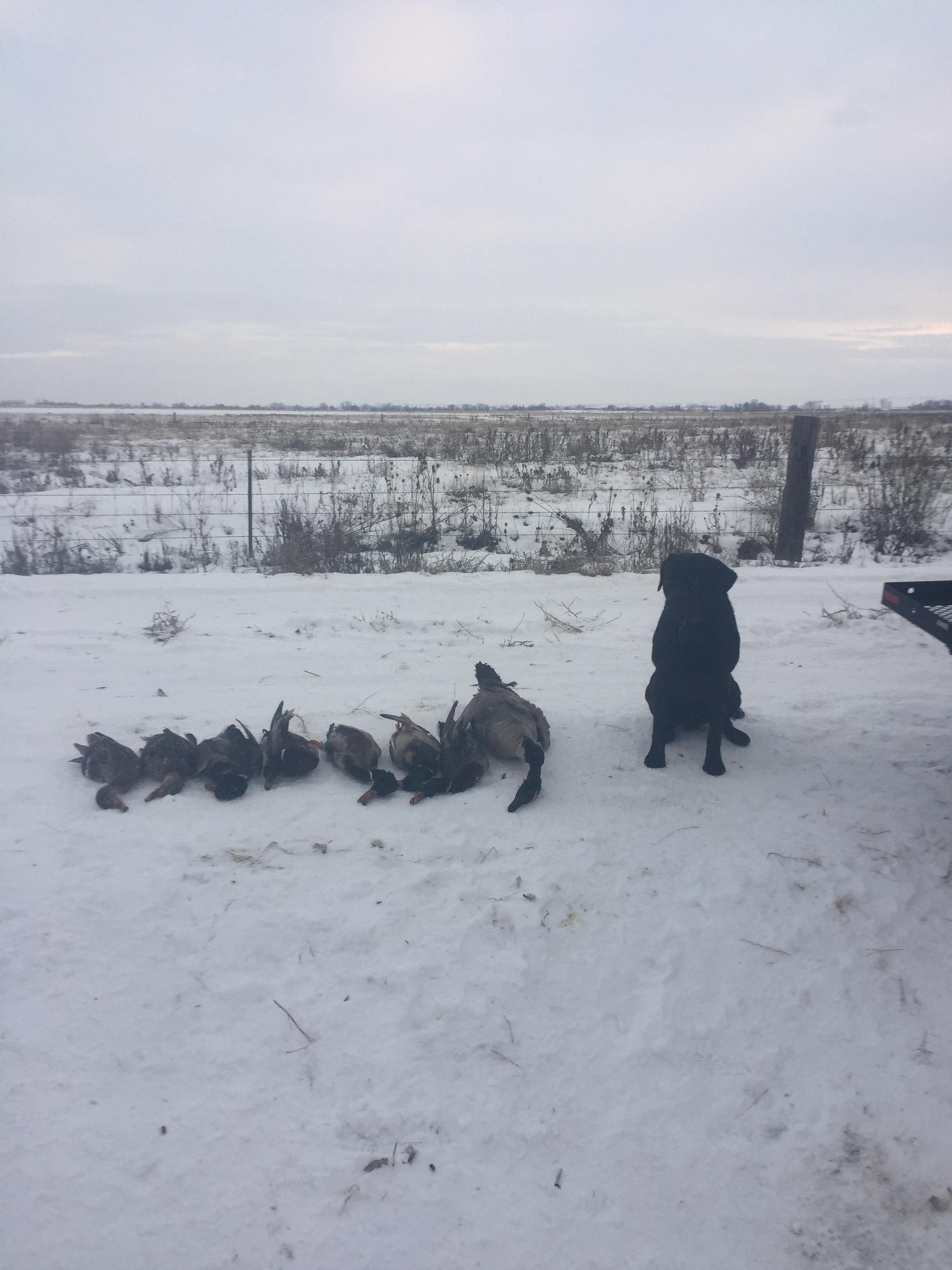 New Years Day hunt. 7 mallards. One goose.