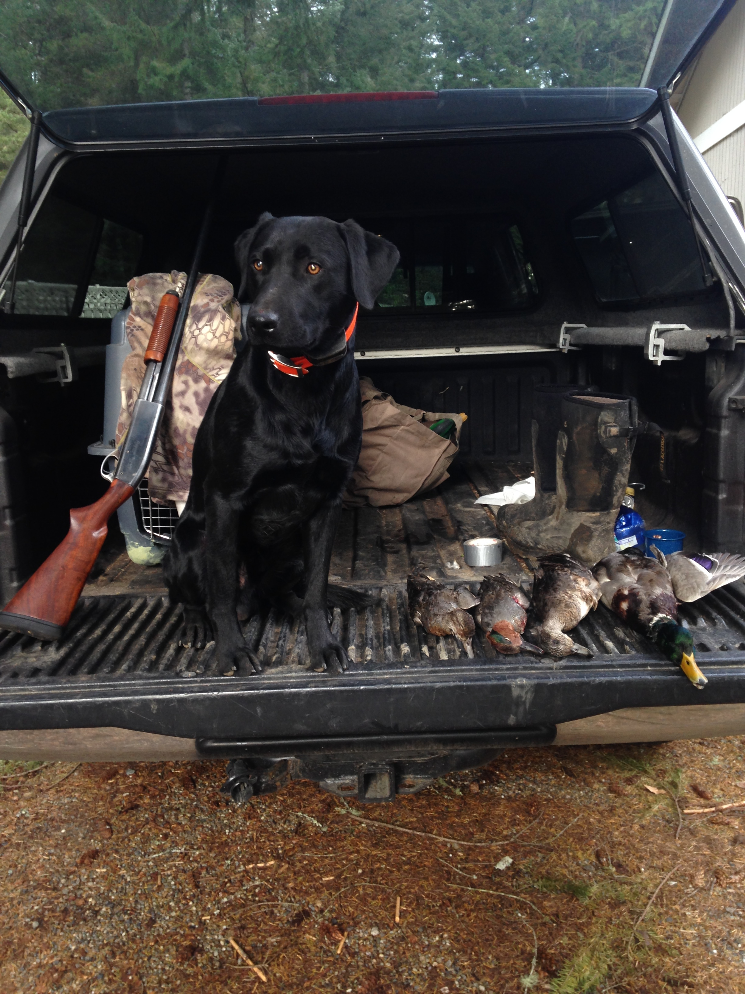 Tanker at just about a year old on an early hunt I did with him in Washington.