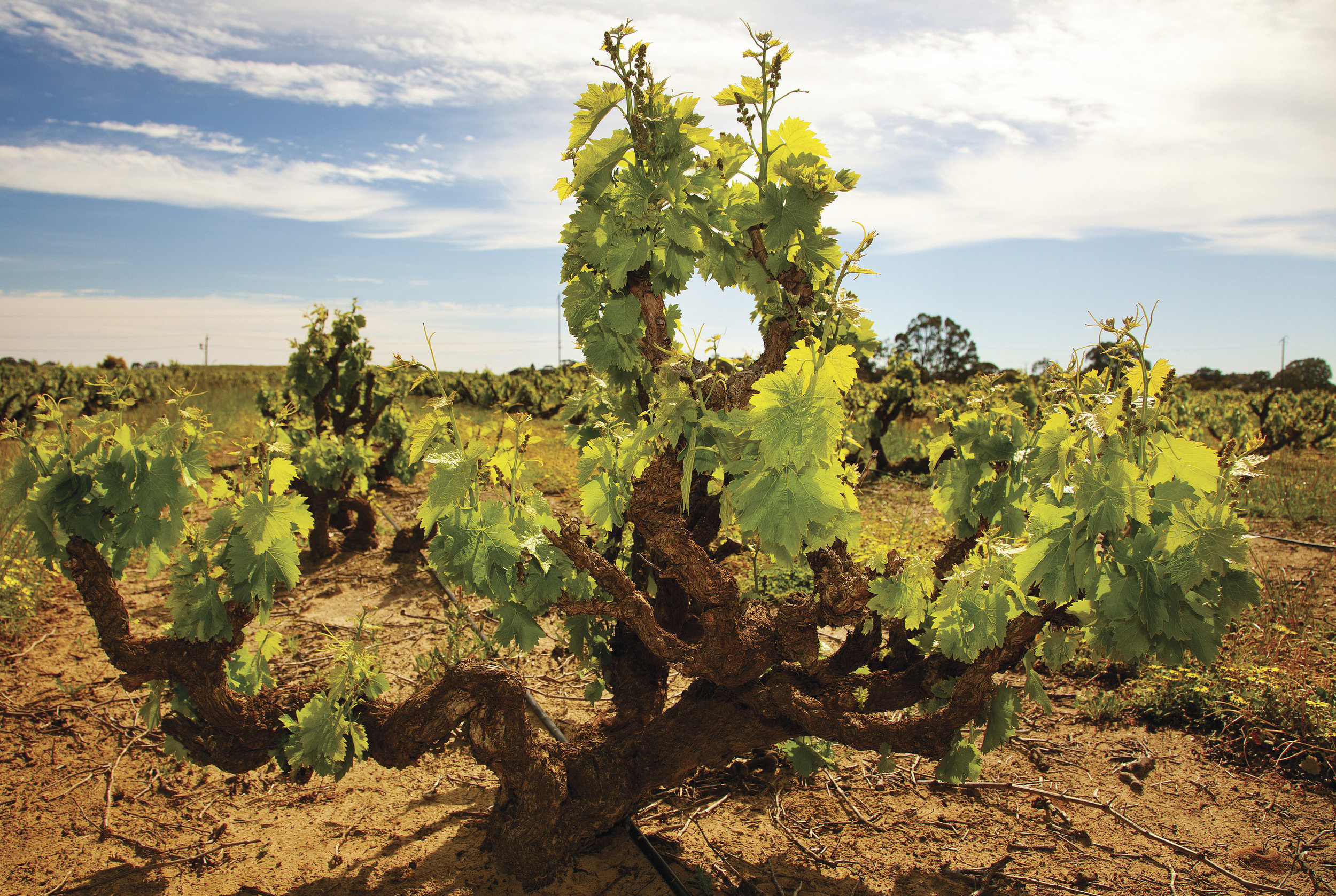 Majestic vines in the Barossa