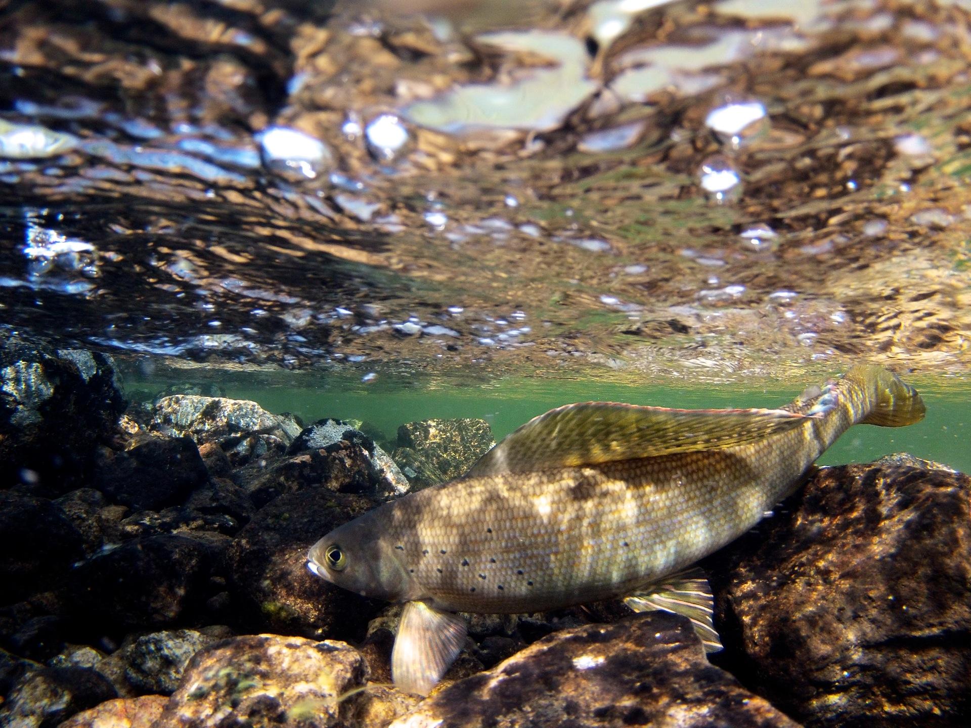 Arctic Grayling in it's pristine natural habitat