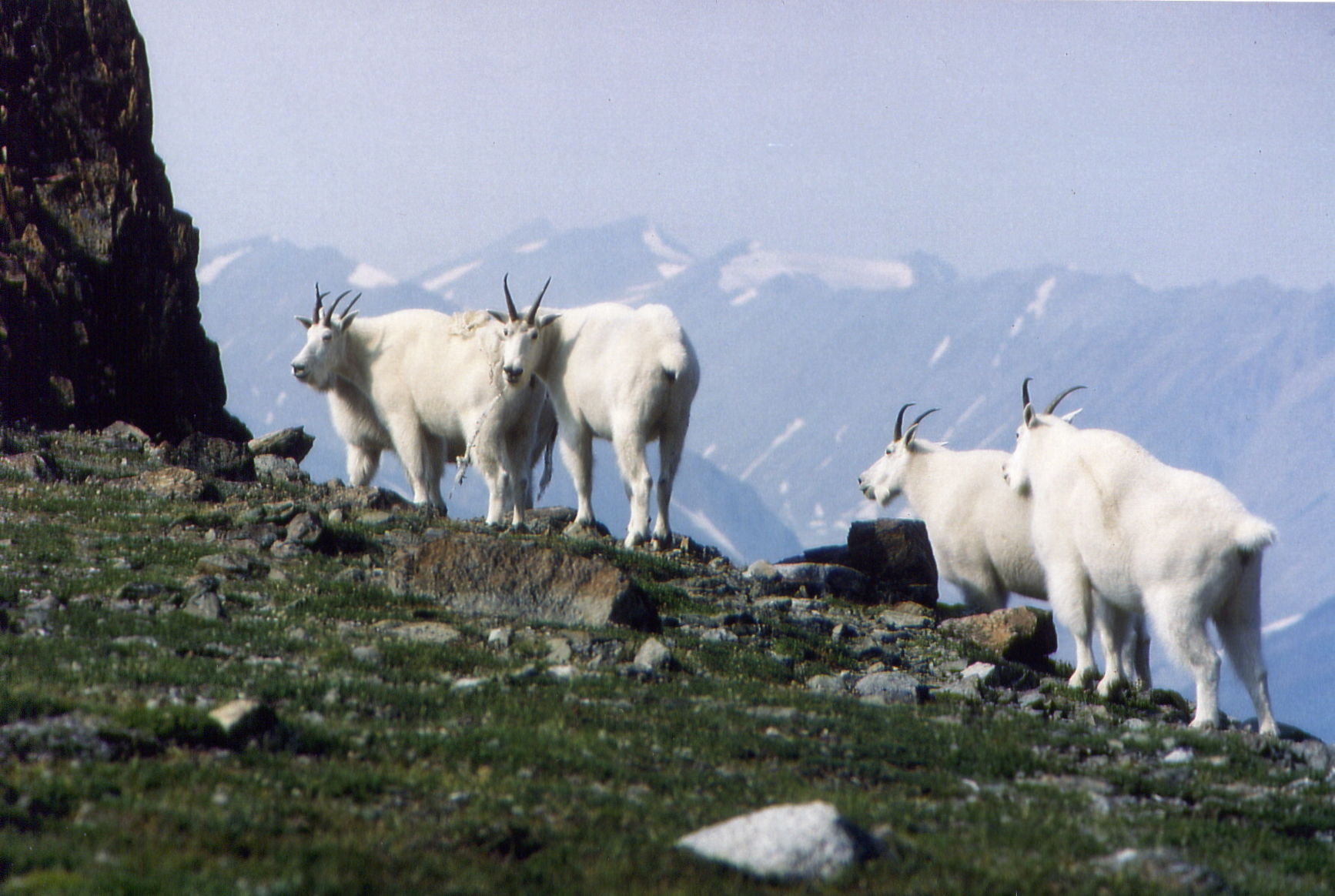Mountain Goats on an alpine meadow