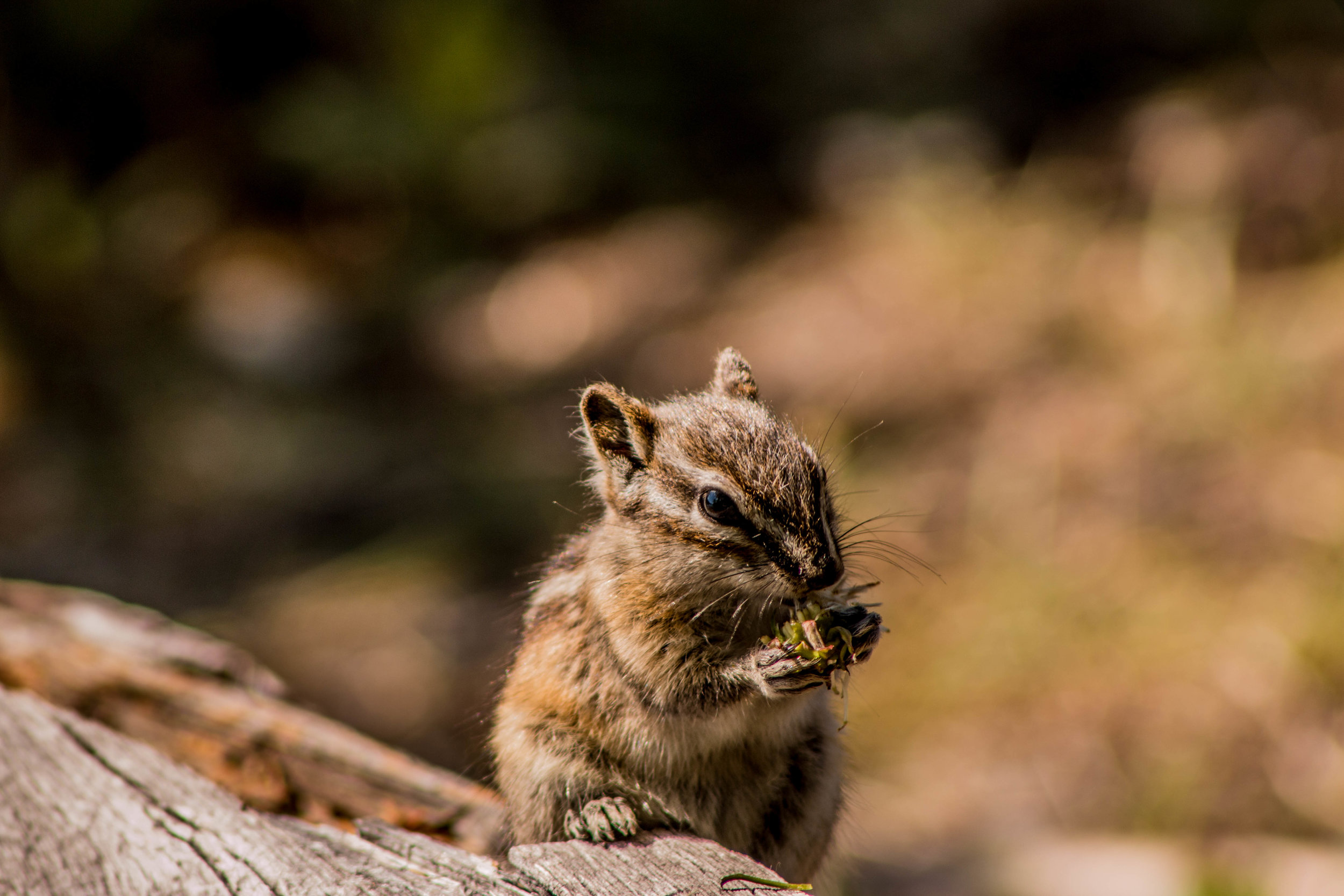Chipmunk on a log
