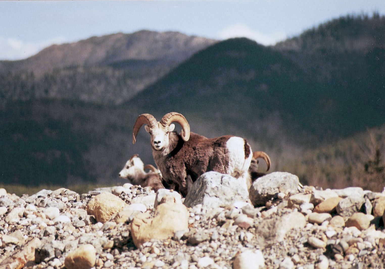 Copy of Stone sheep