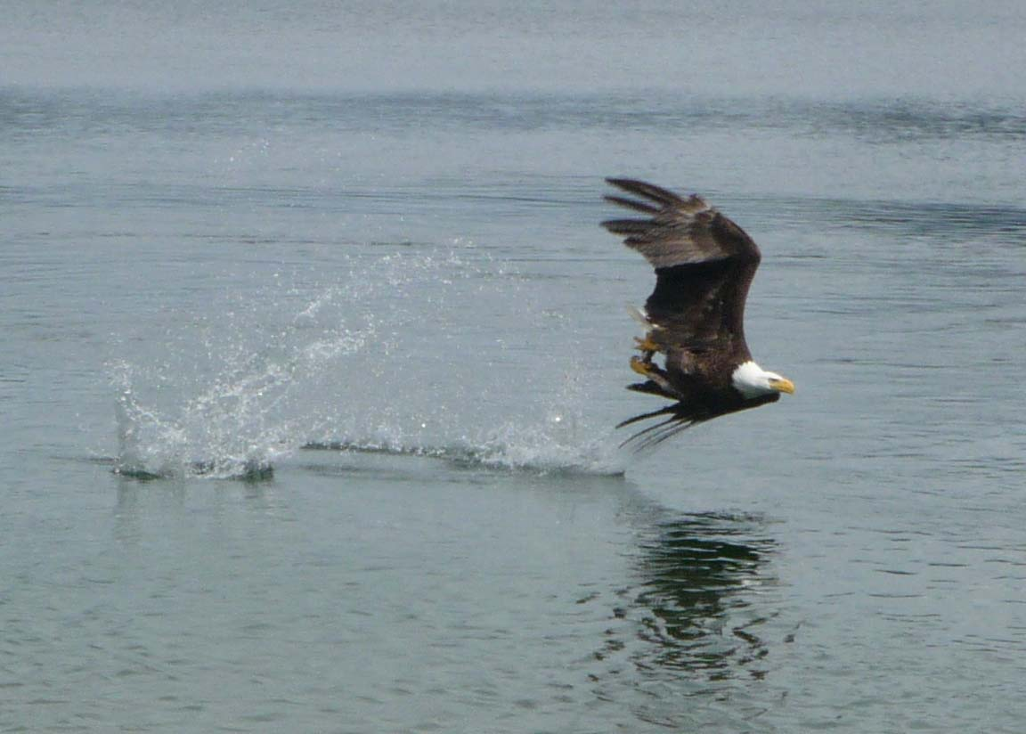 Eagle scooping up a fish