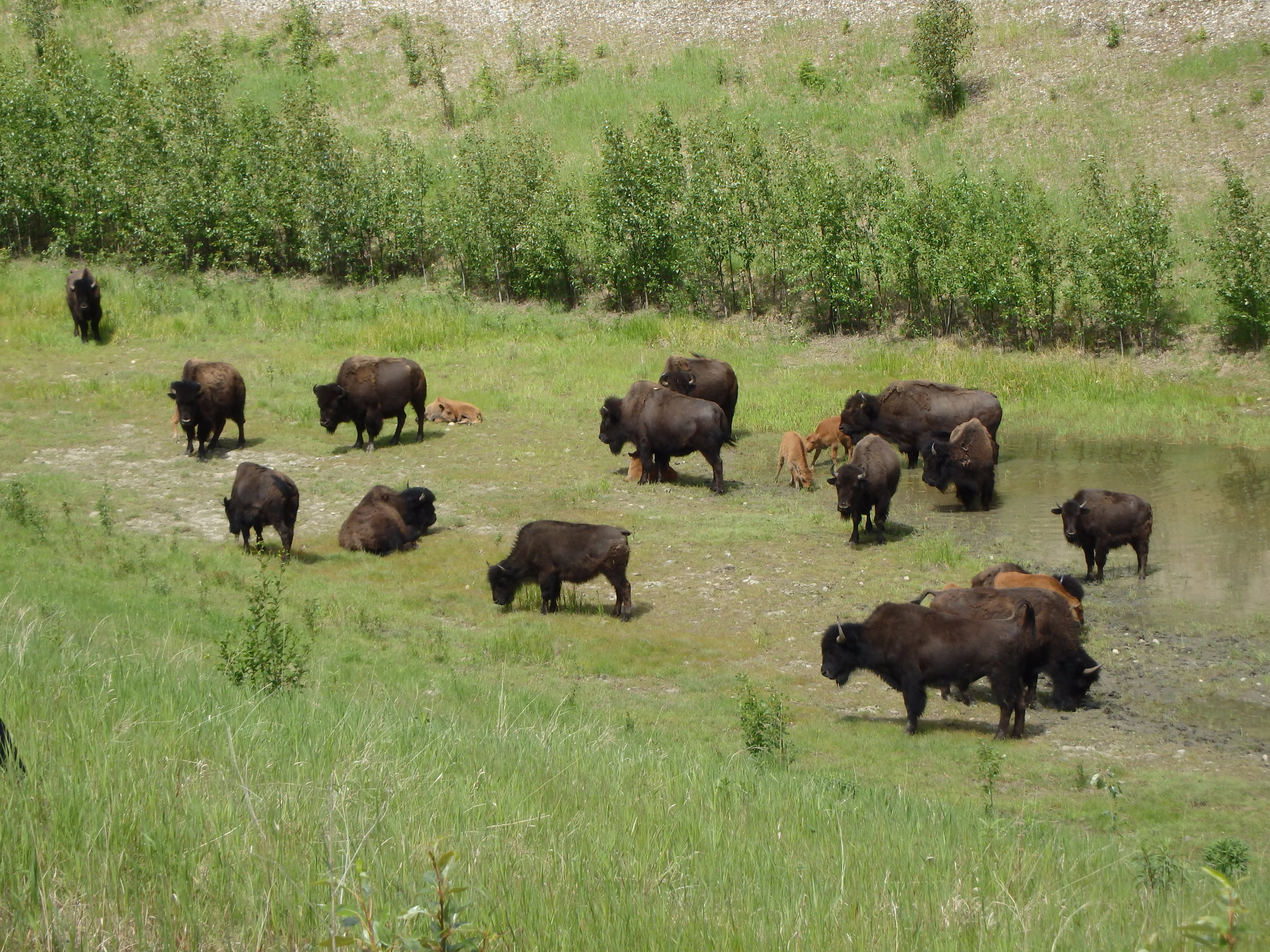 Woodland Bison, Liard river hotspings park