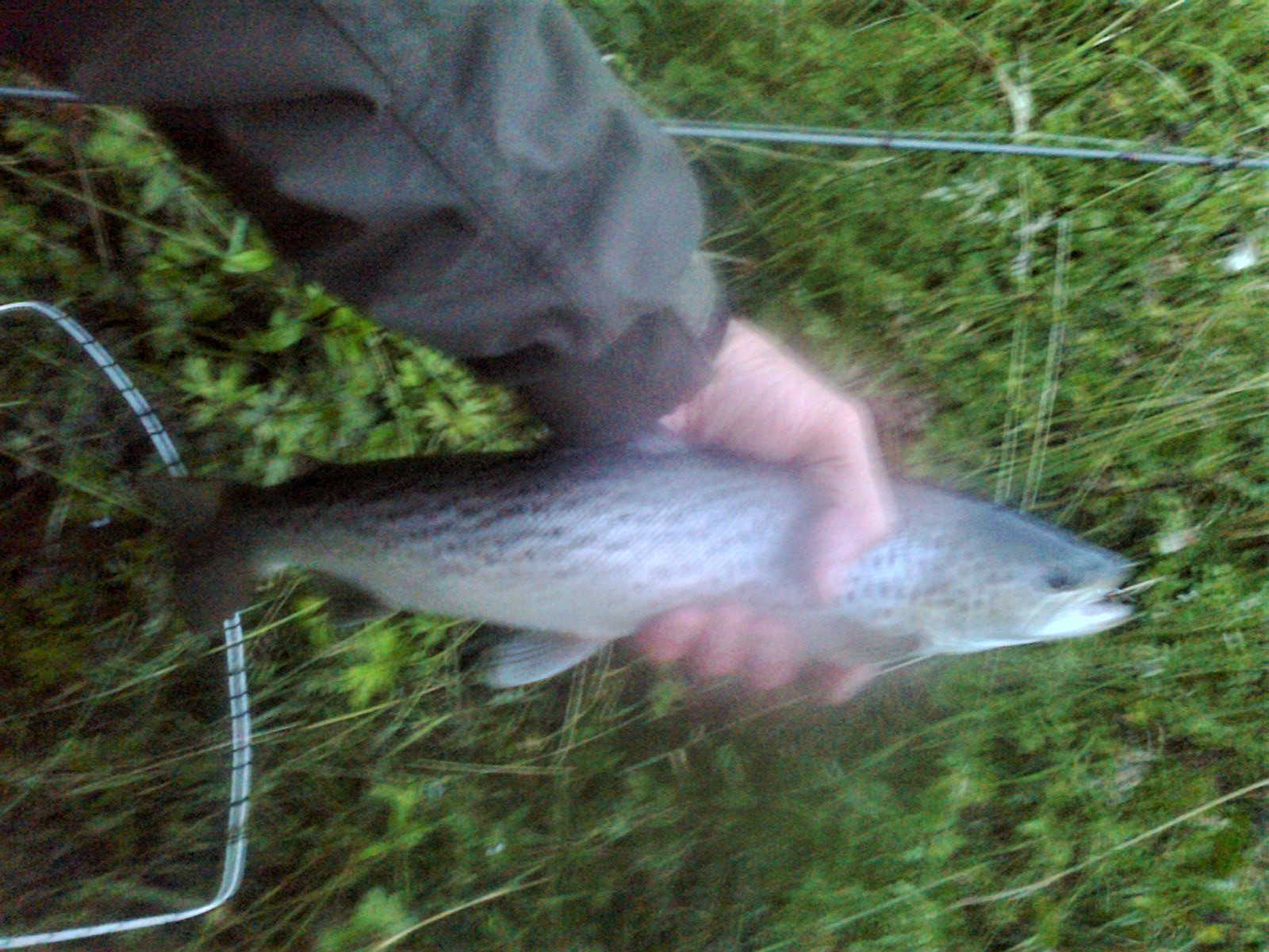 The secretary's share. From Jock Shaws pool at dusk safely returned. Lost another 2 in quick succession. Sea trout about 2lb on a size 8 Alexandra the fly on an intermediate line. River is clearing nicely. Others are reporting similar sized sea trout from other areas in the river.
