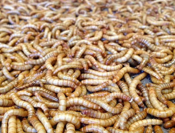 Eww! Yay! Investors back Beta Hatch's effort to grow mealworms for animal feed - GeekWireFebruary 2018