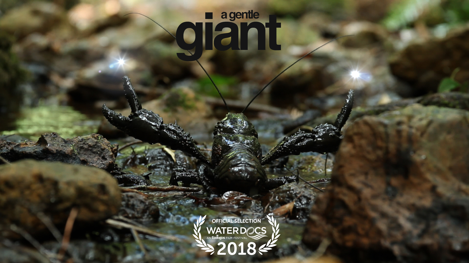 "13th February, 2018  CLAPPING ITS CLAWS   The Tasmanian freshwater lobster is clapping its claws and crawling all over the planet. Congratulations to 'A Gentle Giant has been selected for the 2018 Water Docs Film Festival in Toronto, Canada and will be screened as part of their ""Rivers"" event - Saturday, April 14th."