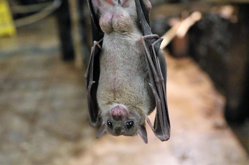 fruit-bat-1582189_960_720.jpg