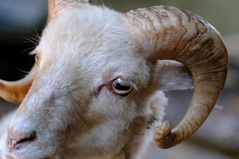 goat-3633015_960_720.jpg