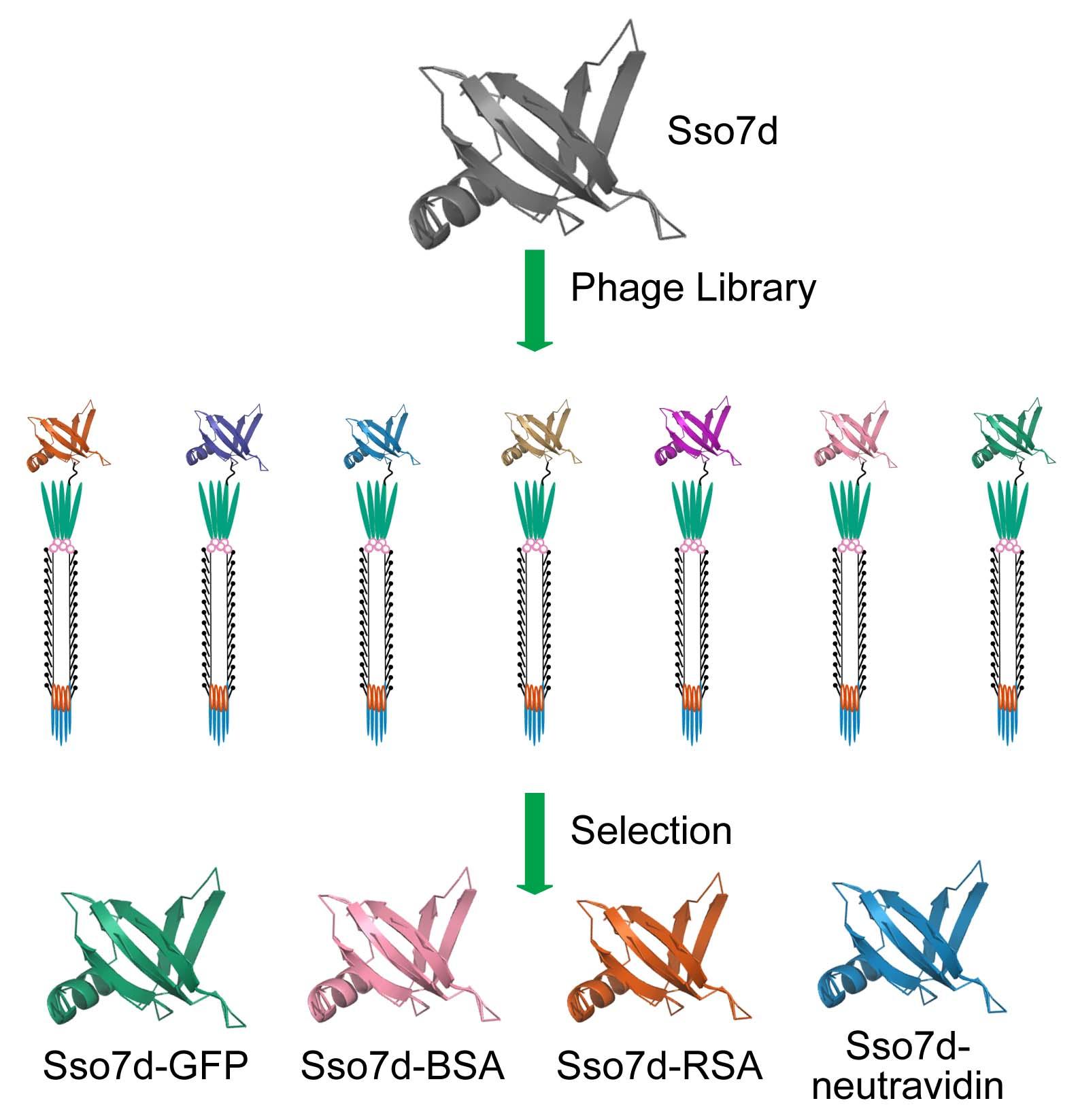 The Fisk lab is interested in identifying new scaffold proteins for phage display libraries. We have had success identifying tight, specific binding molecules for a variety of protein targets from a library based on the 65 amino acid hyperthermophilic scaffold protein Sso7d. (FEBS J, 2016, 283, pp 1351–1367)