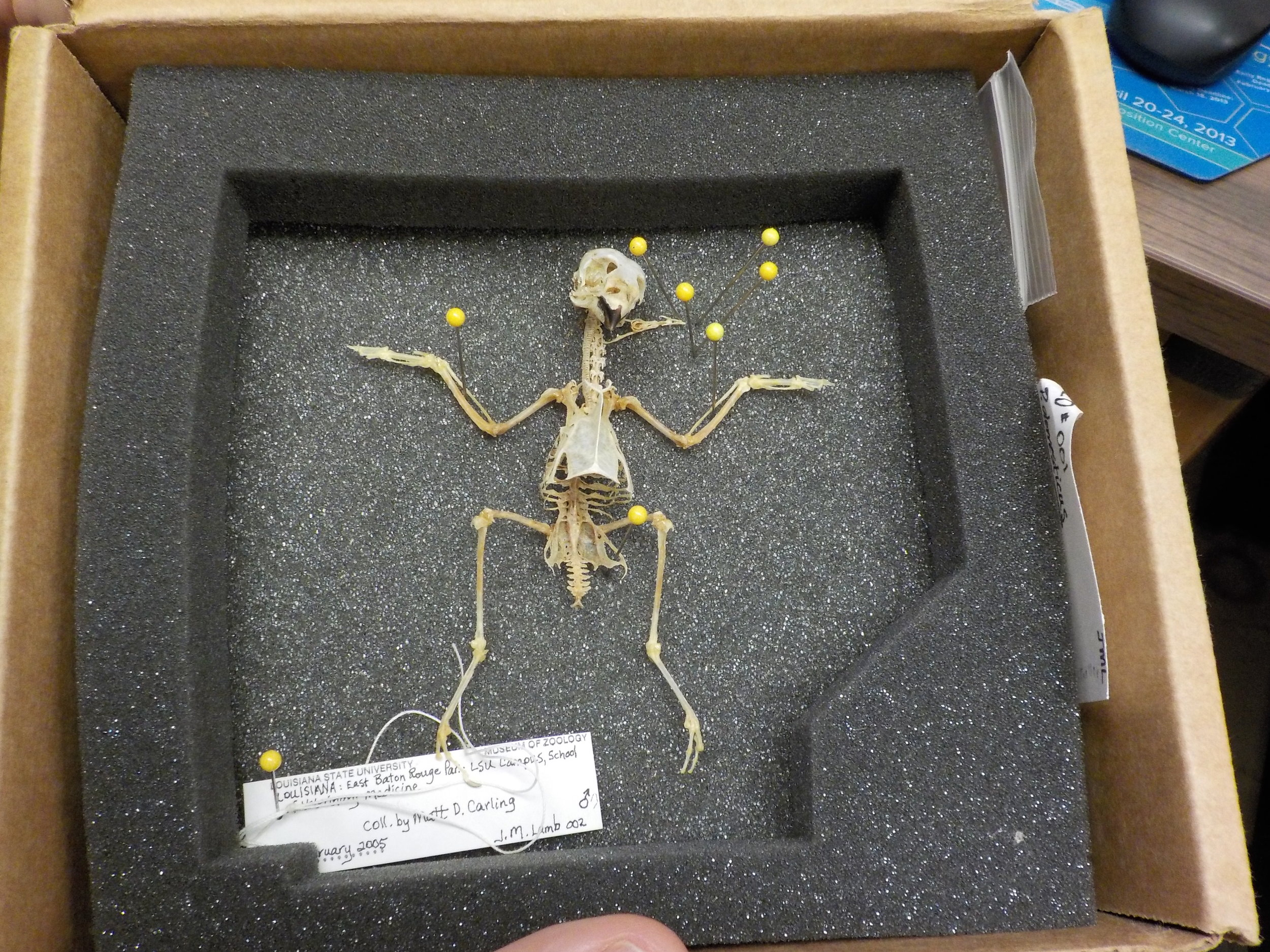Bones of a sparrow, that will be used for creating a 3D model for studying bird locomotion.