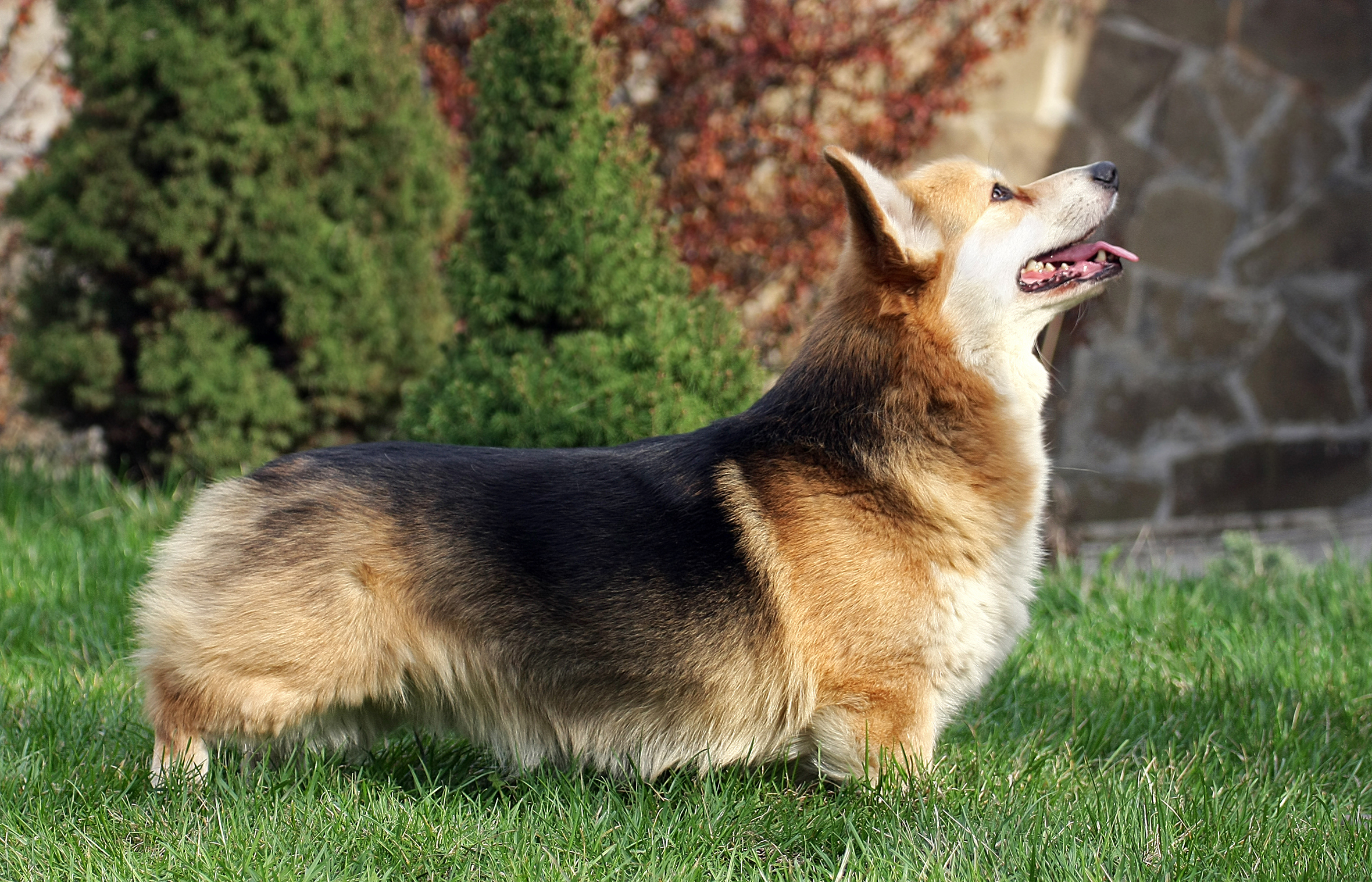 The T gene affects tail length with harmful effects in dogs. Image: Marsiyanka, Wiki.