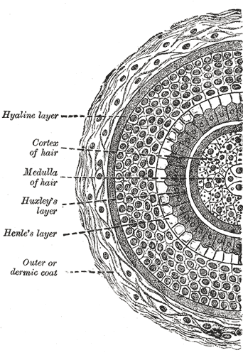 Henry Gray (1918) Anatomy of the Human Body. Photo via Wikimedia.