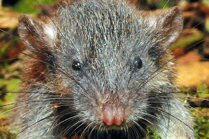 LSU Museum Researchers Discover New Murids, including a 2017 Top 10 Species. Photo of a slender rat, by Kevin Rowe.