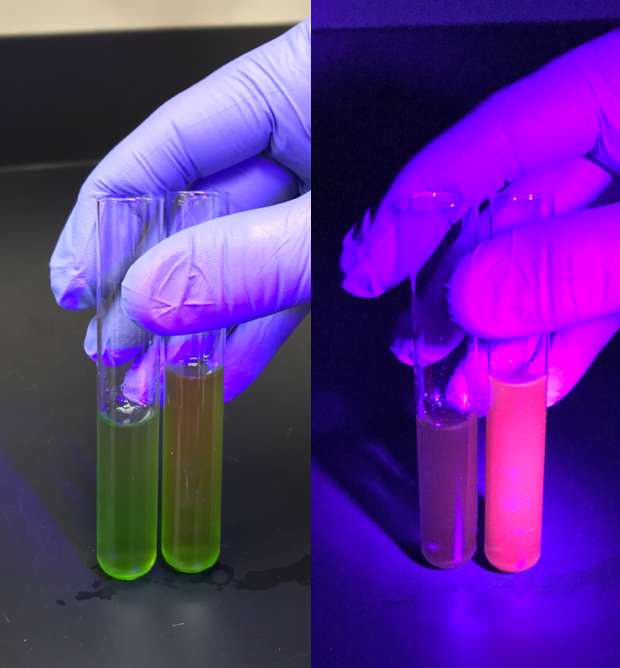 Image of fluorescent chlorophyll. Credit: David Vinyard.