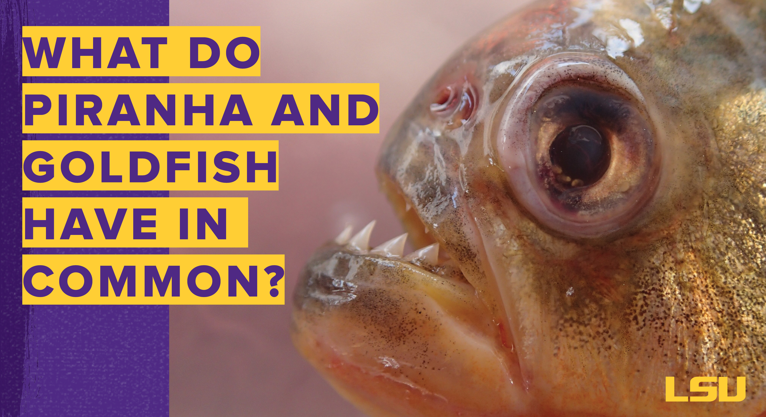 Graphic: What do piranha and goldfish have in common?