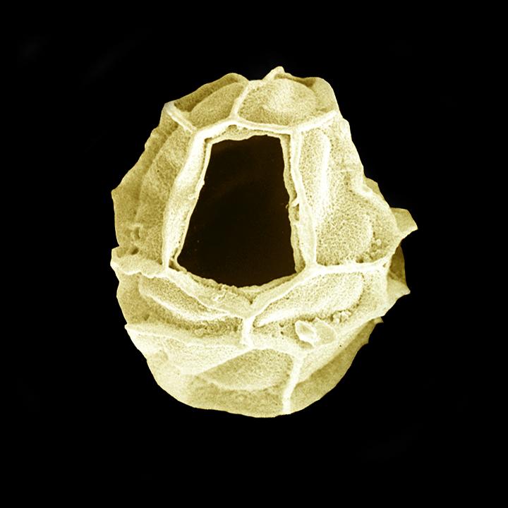 Dino - Impagidinium