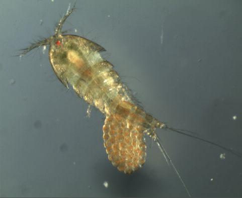 Tigriopus californicus , a copepod female. Credit: Morgan Kelly.