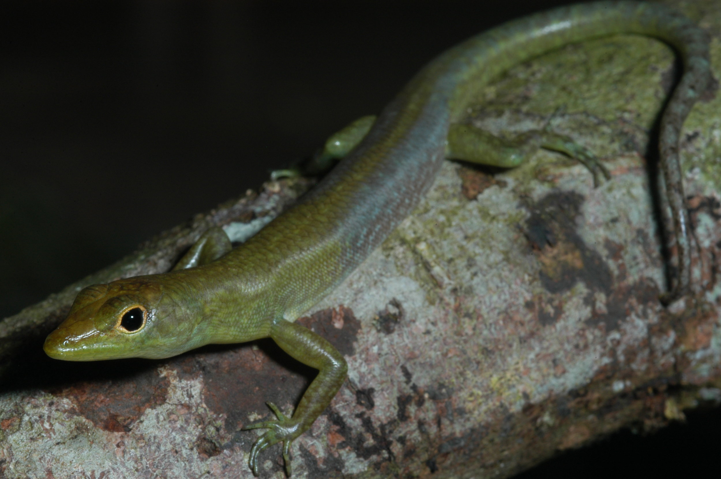 Prasinohaema virens, another green blooded lizard from the lowlands of Papua New Guinea. This is the only species that lays eggs, all other green blooded species give birth to live young. This individual is an adult male characterized by the blue side patch coloration. Photo by Chris Austin.