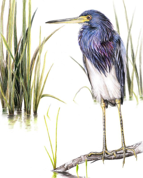 """Artwork: FRONTISPIECE. Tricolored Herons (Egretta tricolor) are integral members of Louisiana's coastal avifauna. This colored-pencil illustration, 'Louisiana Heron,' was created for """"The Wilson Journal of Ornithology."""""""