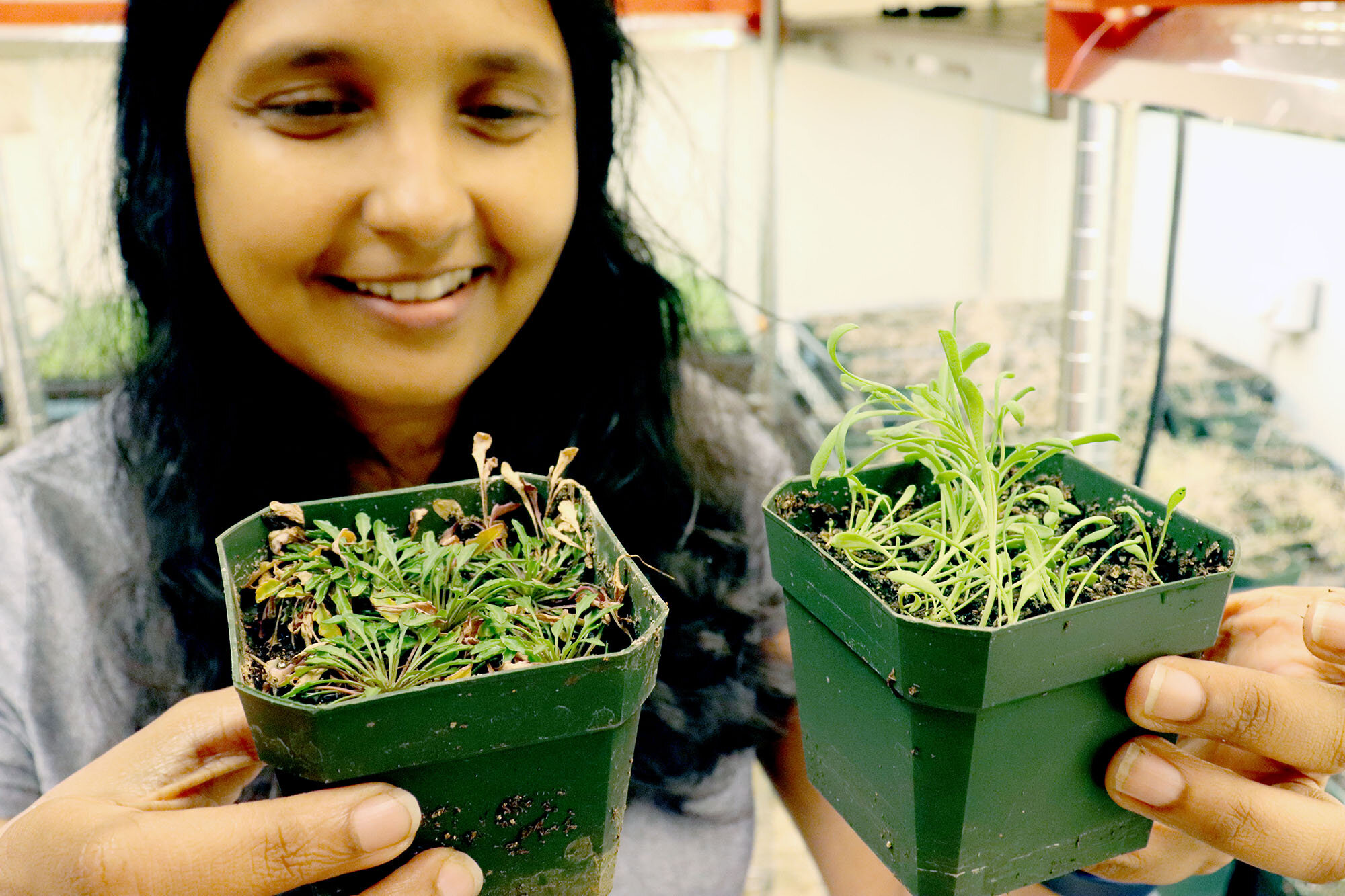 Dr. Maheshi Dassanayake holds Schrenkiella parvula and Eutrema salsugineum, the two extremophytes used as model plants in the NSF Edge research project.