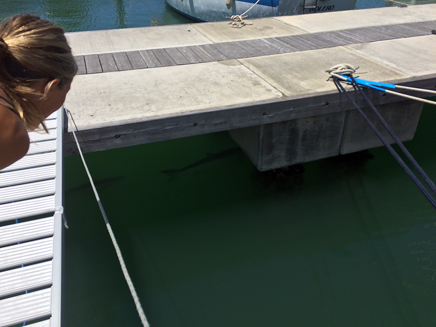 giant Tarpon hanging out under the docks