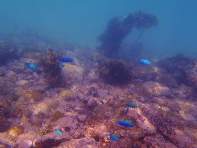 Festive Fish in  Funafuti ...