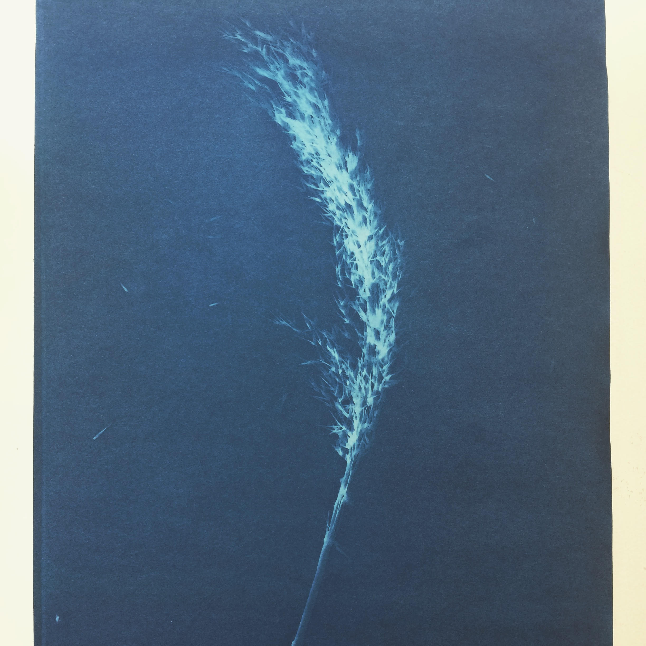 Cyanotype print of the Common Reed. Sent from Gudrun Filipska to Carly Butler.