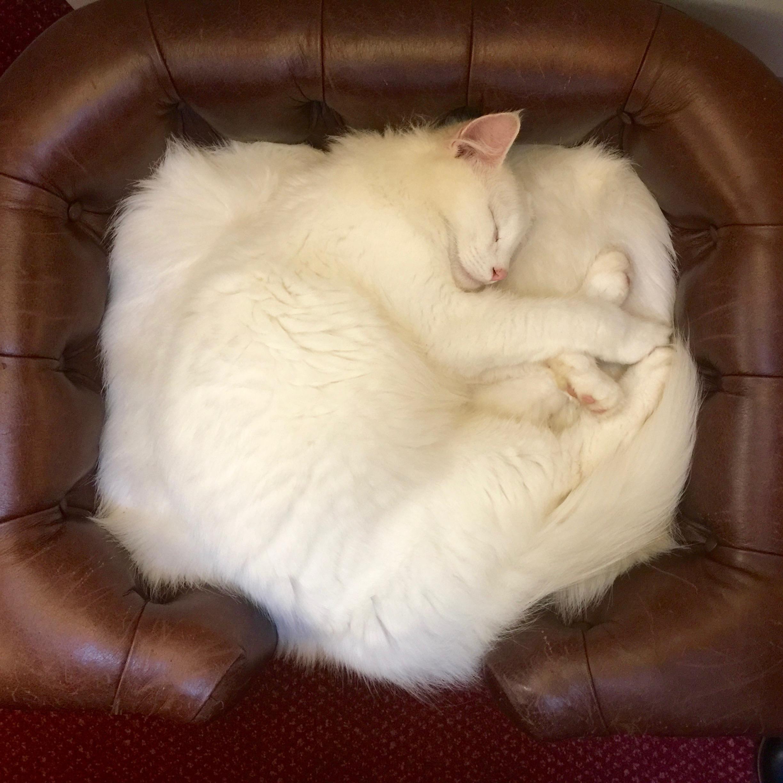 Ssssh...little one asleep. Magnus, one of Forest Cats of Eddrachilles.