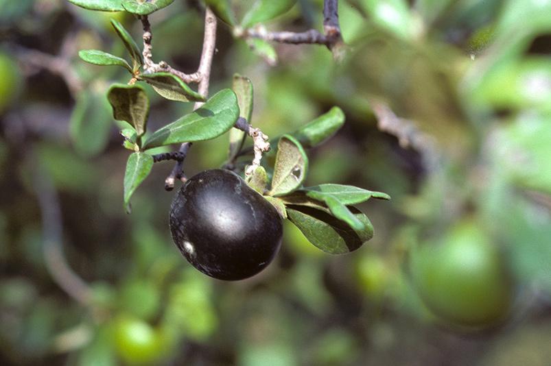 native fruit trees.jpeg