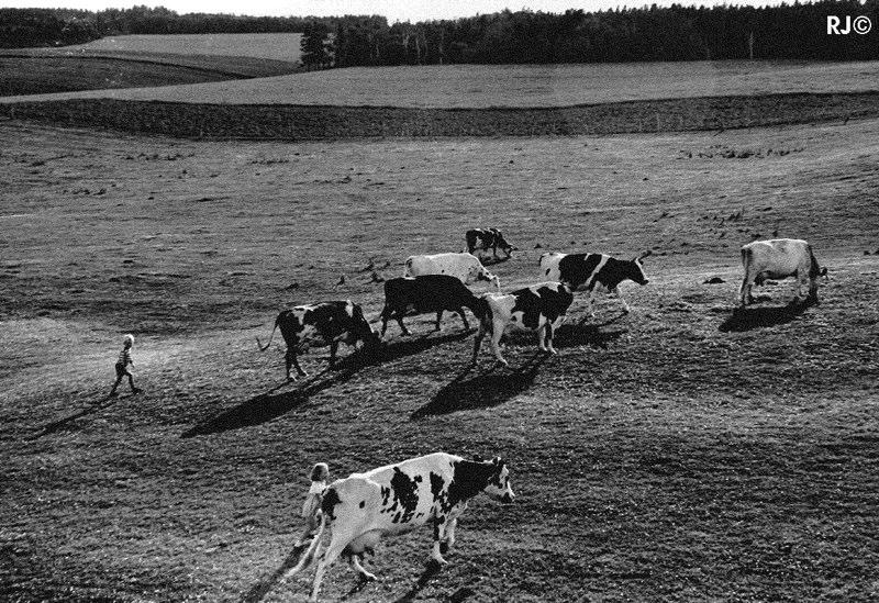 Cows in field - Gaspé, 1954